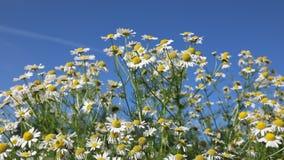Dzicy gąszcze chamomile na tle jasny niebo zbiory