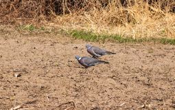 Dzicy gołębie karmią wewnątrz ogród zdjęcie royalty free