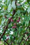 Dzicy jabłka w deszczu Fotografia Royalty Free