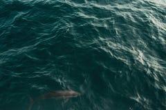 Dzicy kądziołka delfinu pływania blisko do nawadniają powierzchnię Przyrody natury tło Przestrzeń dla teksta Eco turystyka Podróż Zdjęcie Stock
