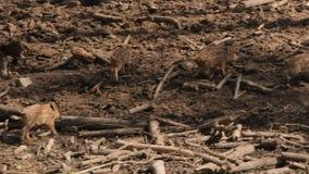 Dzicy knury w lesie zbiory wideo