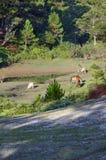 Dzicy konie żyją w różowej łąkowej step części 5 zdjęcia stock