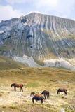 Dzicy konie Fotografia Royalty Free