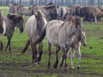 Dzicy konie obraz stock