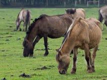 Dzicy konie obrazy royalty free