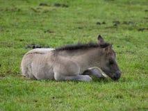 Dzicy konie zdjęcie stock