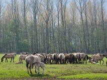 Dzicy konie obrazy stock