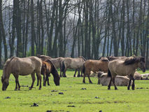 Dzicy konie zdjęcia stock