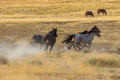 Dzicy konie Biega Przez pustynię Zdjęcie Stock