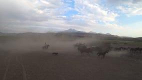 Dzicy konie biega w polu zbiory wideo