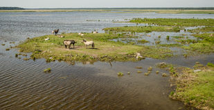 Dzicy konie blisko jeziornego Engure Fotografia Stock