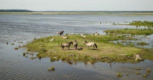 Dzicy konie blisko jeziornego Engure Obrazy Stock