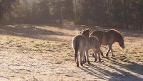 Dzicy konie na łące zdjęcie wideo