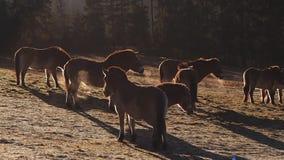 Dzicy konie na łące zbiory wideo