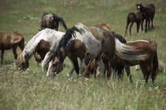 Dzicy konie pasa w Montana Fotografia Stock