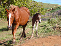 Dzicy konie przy Wielkanocną wyspą Obraz Royalty Free