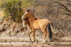 Dzicy konie w Arizona pustyni Zdjęcia Stock