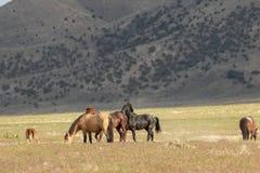 Dzicy konie w lecie Zdjęcia Royalty Free