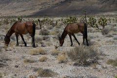 Dzicy konie w Nevada Obraz Royalty Free