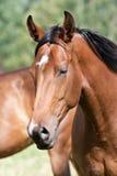 Dzicy konie w polu obraz stock