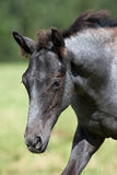 Dzicy konie w polu fotografia royalty free