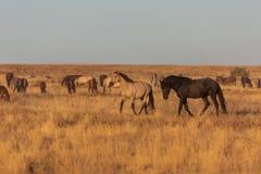 Dzicy konie w Utah pustyni obraz stock