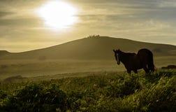 Dzicy konie, Wielkanocna wyspa, Chile Zdjęcie Royalty Free