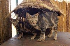 Dzicy koty w zwierzęcej łatwości Nairobia, Kenja, Afryka przy KWS Kenja przyrody usługa Obrazy Royalty Free