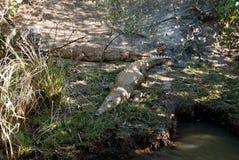 Dzicy krokodyle Zdjęcia Royalty Free