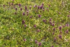 Dzicy kwiaty ampuła kwitnęli selfheal Prunella grandiflora Obrazy Royalty Free