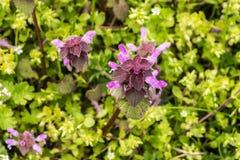 Dzicy kwiaty ampuła kwitnęli selfheal Prunella grandiflora Zdjęcie Royalty Free