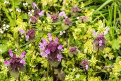 Dzicy kwiaty ampuła kwitnęli selfheal Prunella grandiflora Zdjęcia Stock