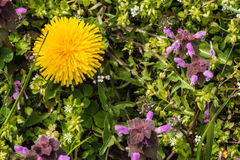 Dzicy kwiaty ampuła kwitnęli selfheal Prunella grandiflora Obraz Stock