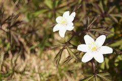 Dzicy kwiaty Anemonowy nemorosa - drewniany anemon, windflower - zdjęcie stock