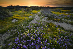 Dzicy kwiaty kwitnie w Carrizo Prostym Krajowym zabytku w wiośnie Zdjęcie Stock