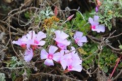 Dzicy kwiaty - menchie obrazy stock