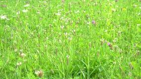 Dzicy kwiaty na zielenieją pole Spikelets trawa i kwiaty kiwali wiatrem na zamazanym tle w idealnym przypadku trawy meadow sw?j zbiory wideo