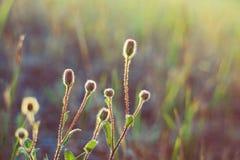 Dzicy kwiaty pączkują w świetle słonecznym Natura, zmierzch, lata backgr Obraz Royalty Free