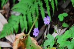 Dzicy kwiaty triund Zdjęcie Stock