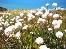 Dzicy kwiaty w Cabo da Roca blisko Sintra, Portugalia, kontynentalny Europe's westernmost punkt Fotografia Royalty Free