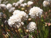 Dzicy kwiaty w Cabo da Roca blisko Sintra, Portugalia, kontynentalny Europe's westernmost punkt Obrazy Stock