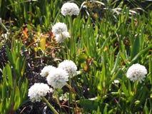 Dzicy kwiaty w Cabo da Roca blisko Sintra, Portugalia, kontynentalny Europe's westernmost punkt Fotografia Stock