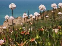Dzicy kwiaty w Cabo da Roca blisko Sintra, Portugalia, kontynentalny Europe's westernmost punkt Zdjęcie Royalty Free