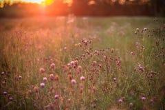 Dzicy kwiaty w położenia słońcu Zdjęcia Royalty Free