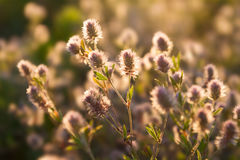 Dzicy kwiaty w słońce łące Ranku śródpolny tło Zdjęcie Royalty Free