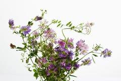 Dzicy kwiaty, wyka, korony wyka i kiciasta wyka, Zdjęcia Royalty Free