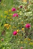Dzicy lato łąki kwiaty Fotografia Stock