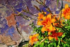 Dzicy leluja kwiaty Zdjęcie Stock