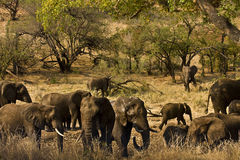 Dzicy męscy słonie w krzaku, Kruger, Południowa Afryka Fotografia Stock