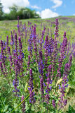 Dzicy Mądrzy Kwiaty Zdjęcie Stock